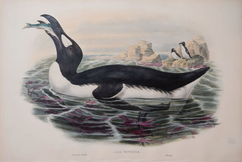 "John Gould (1804-1881), Alca Impennis, ""Great Auk"""
