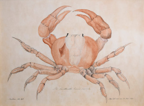 Aloys Zotl (Austrian, 1803-1897), Land Crab, 1869