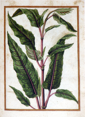 Jacques le Moyne de Morgues (French, ca. 1533-1588), Amaranthus