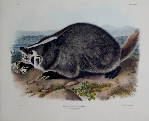 John James Audubon (1785-1851) & John Woodhouse Audubon (1812-1862), American Badger Pl. XLVII