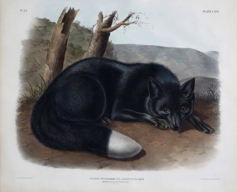 John James Audubon (1785-1851) & John Woodhouse Audubon (1812-1862), American Black or Silver Fox Pl. CXVI