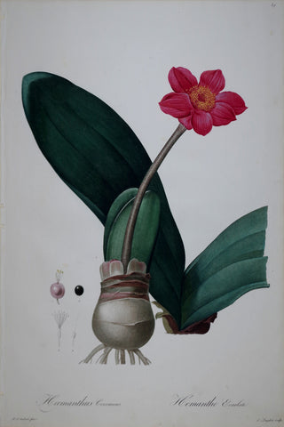 Pierre Joseph Redouté (1759-1840), April Fool, Plate 39