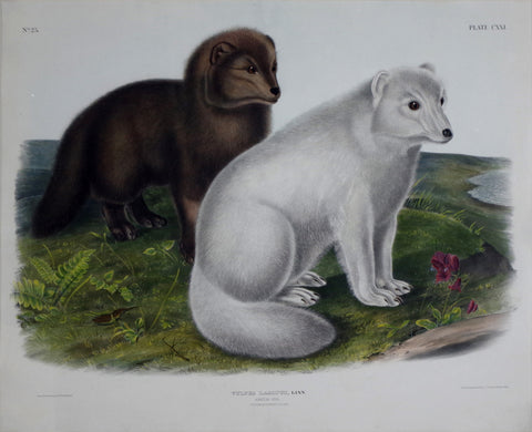John James Audubon (1785-1851) & John Woodhouse Audubon (1812-1862), Arctic Fox Pl. CXXI