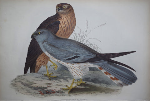John Gould (1804-1881), Ash-coloured harrier