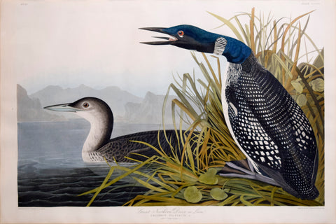 John James Audubon (1785-1851), CCCVI Great Northern Diver or Loon