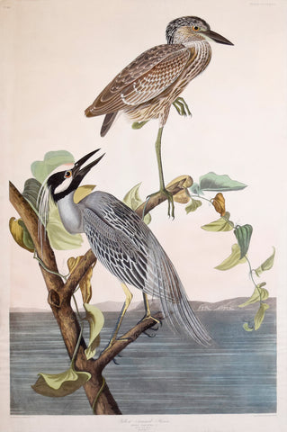 John James Audubon (1785-1851), Yellow-Crowned Heron, PL. CCCXXXVI