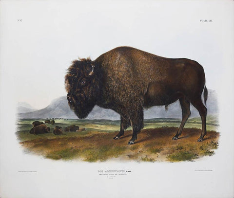 John James Audubon (1785-1851) & John Woodhouse Audubon (1812-1862), American Bison or Buffalo Pl. LVI