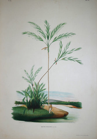 João Barbosa Rodrigues (1842-1909), Bactris Rivularis