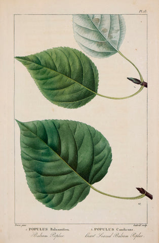 Francois Andre Michaux (1770-1855), Balsam Poplar and Heart Leaved Balsam Poplar