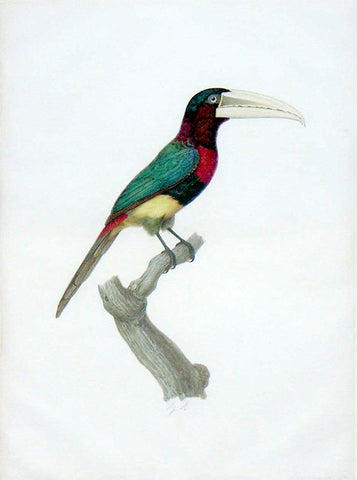 Jacques Barraband (French, 1767-1809), The Ivory-Billed Aracari – L'aracari Azara