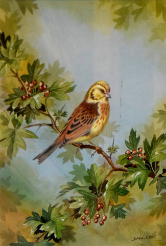 Basil Ede (1931-2016), A Yellow Breasted Bunting resting on a Branch