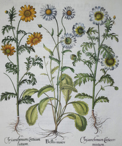 Basilius Besler (1561-1629), Bellis Major