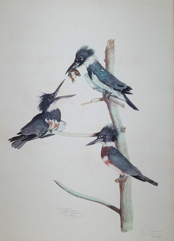 Carroll Sargent Tyson (1877-1956), Belted Kingfisher
