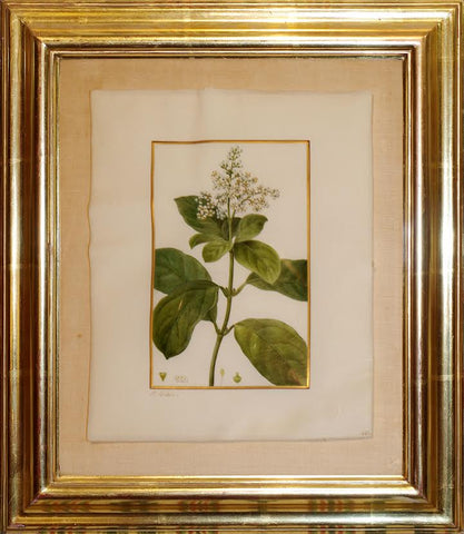 Pancrace Bessa (French, 1772-1835), Viburnum Fragrans