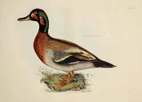 Prideaux John Selby (1788-1867), Bimaculated Duck Male Plt