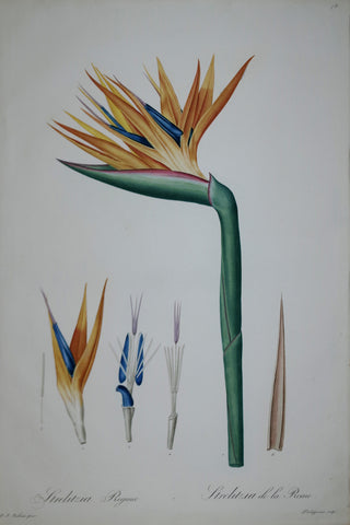 Pierre Joseph Redouté (1759-1840), Bird of Paradise Flower, Plate 78