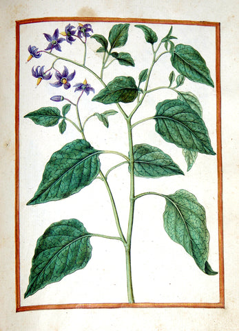 Jacques le Moyne de Morgues (French, ca. 1533-1588), Bittersweet (Woody Nightshade)