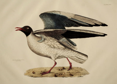 Prideaux John Selby (1788-1867), Black-headed Gull Summer Plumage Plt XCII