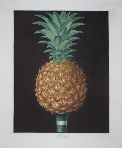 George Brookshaw (1751-1823), Black Antigua Pineapple, Pl LV