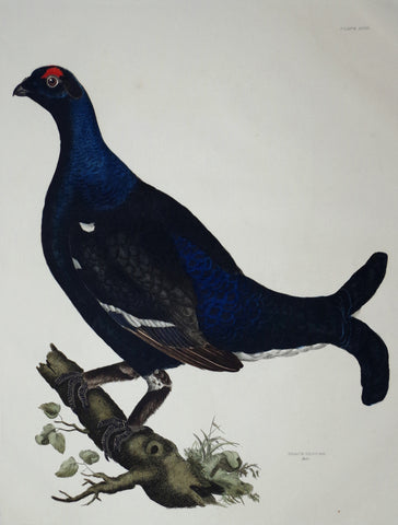 Prideaux John Selby (1788-1867), Black Grouse Male Plt LVIII