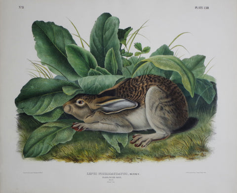 John James Audubon (1785-1851) & John Woodhouse Audubon (1812-1862), Black Tailed Hare Pl. LXIII