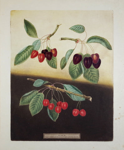 George Brookshaw (1751-1823), Bleeding Heart, Ox Heart, & Maple Heart Cherries, Pl IX