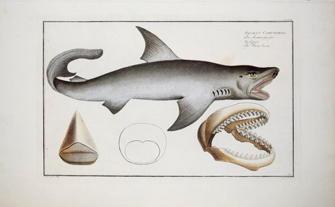 Marcus Elieser Bloch (1723-1799), The White Shark, Pl. CXIX