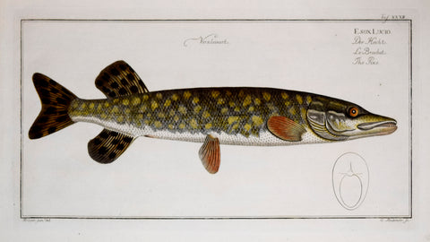 Marcus Elieser Bloch (1723-1799), The Pike, Pl. XXXII