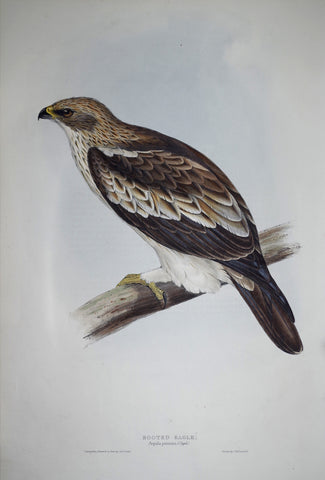 John Gould (1804-1881), Booted Eagle