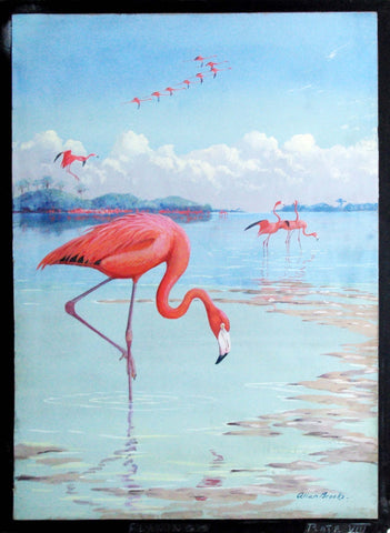 Allan Brooks  (Canadian, 1869-1945), Flamingo Plate VIII
