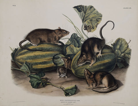 John James Audubon (1785-1851) & John Woodhouse Audubon (1812-1862), Brown or Norway Rat Pl. LIV