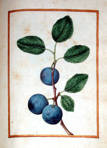 Jacques le Moyne de Morgues (French, ca. 1533-1588), Bullace