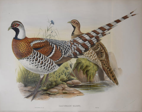 John Gould (1804-1881), Calcophasis Ellioti