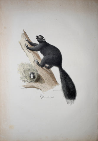 Frederic Cuvier (1769-1832) & Geoffroy Saint-Hilaire (1772-1844), Capistrate Male - Black Squirrel