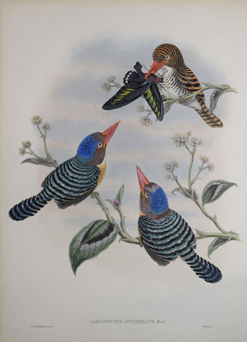 John Gould (1804-1881), Carcineutes Pulchellus (Banded Kingfisher)