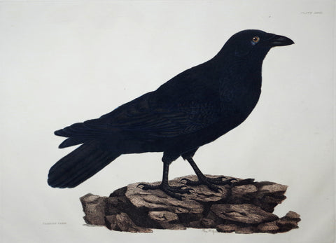 Prideaux John Selby (1788-1867), Carrion Crow Plt XXVIII