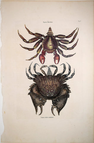 Mark Catesby (1683-1749), T36, The Red Mottled Rock-Crab, The Rough-Shell'd Crab