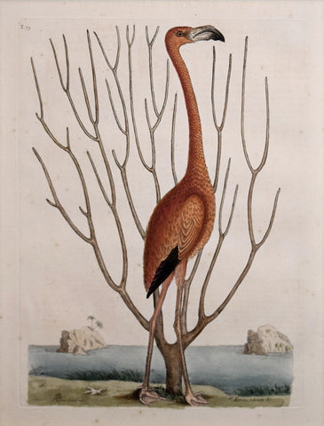 Mark Catesby (1683-1749), T73-The Flamingo