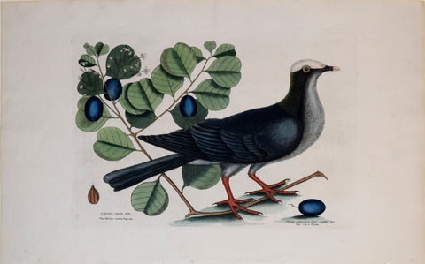 Mark Catesby (1683-1749), T 25, The White-crown'd Pigeon, The Cocoa Plum