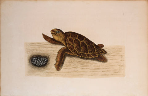 Mark Catesby (1683-1749), T 39, The Hawks-Bill-Turtle
