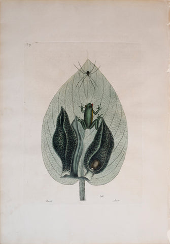 Mark Catesby (1683-1749), T 71, Rana Arum (The Green-Tree Frog, The Scunk Weed)