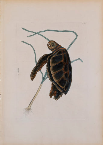 Mark Catesby (1683-1749), T 38 The Green-Turtle