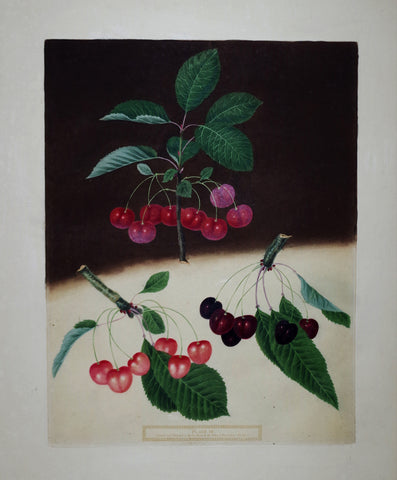 George Brookshaw (1751-1823), Cherries, Pl VII