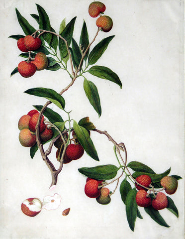 Chinese Export (late eighteenth-century), Lychee