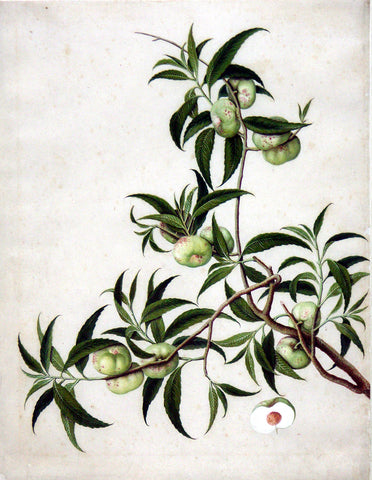 Chinese Export (late eighteenth-century), Pan Tao (Chinese flat peach)