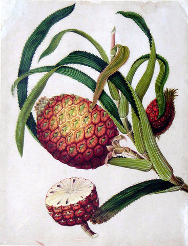 Chinese Export (late eighteenth-century), Pineapple (Ananas camosus)