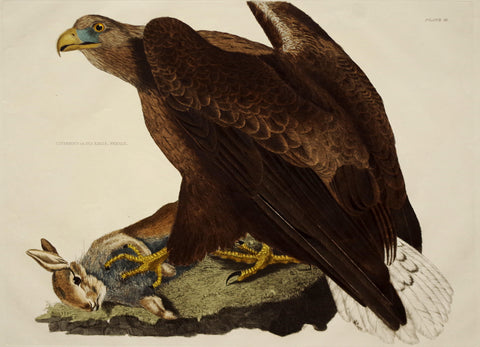 Prideaux John Selby (1788-1867), Cinereous or Sea Eagle Female Plt III