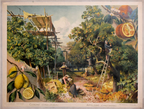 F.E. Wachsmuth, Citrone [Scene Showing Citrus Harvesting]