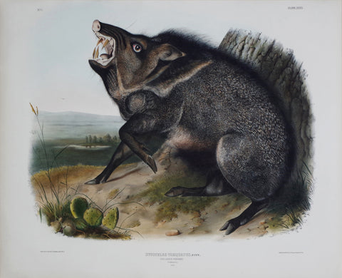 John James Audubon (1785-1851) & John Woodhouse Audubon (1812-1862), Collared Peccary Pl. XXXI