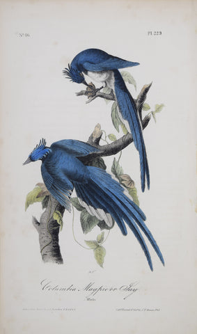 John James Audubon (American, 1785-1851), Columbia Magpie or Jay P229